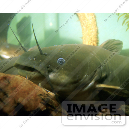 #15515 Picture of a Yellow Bullhead Catfish (Ameiurus natalis) by JVPD