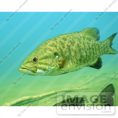 #15516 Picture of a Smallmouth Bass (Micropterus dolomieu) by JVPD