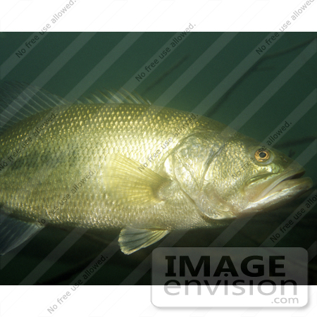 #15517 Picture of a Largemouth Bass (Micropterus salmoides) by JVPD
