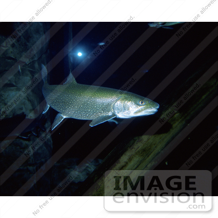 #15519 Picture of Lake Trout (Salvelinus namaycush) by JVPD