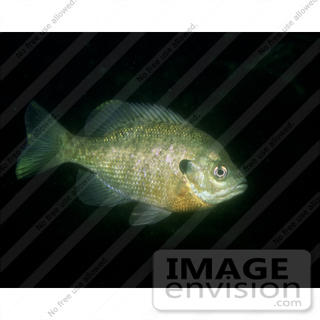 #15521 Picture of a Bluegill Fish (Lepomis macrochirus) by JVPD