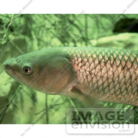 #15523 Picture of a Grass Carp Fish, White Amur (Ctenopharyngodon idella) by JVPD