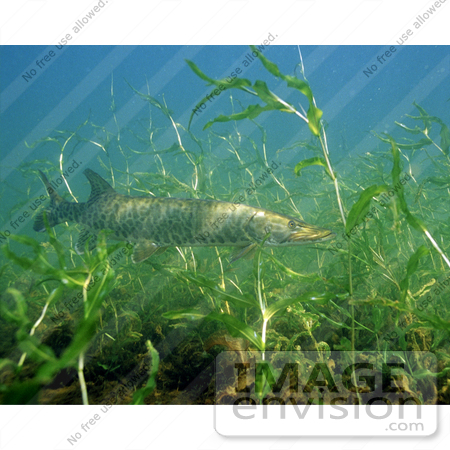 #15525 Picture of a Musky fish (Esox masquinongy) by JVPD