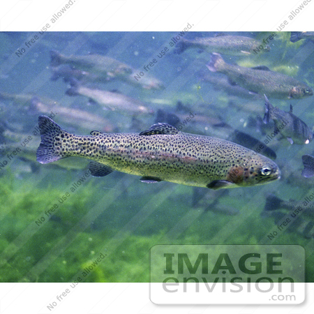 #15526 Picture of Rainbow, Redband Trout (Oncorhynchus mykiss) by JVPD
