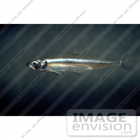 #15528 Picture of a Delta Smelt Fish (Hypomesus transpacificus) by JVPD