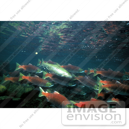 #15532 Picture of Rainbow/Redband Trout With Sockeye/Red/Blueback Salmon by JVPD