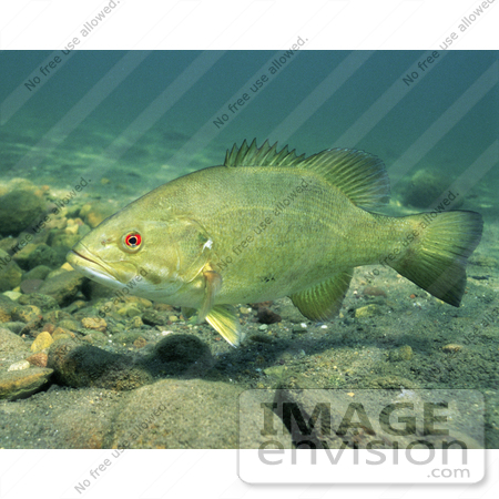 #15535 Picture of a Smallmouth Bass (Micropterus dolomieu) by JVPD