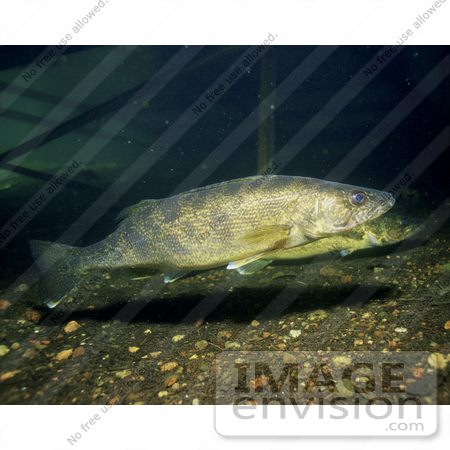 #15539 Picture of Walleye Fish (Stizostedion vitreum) by JVPD