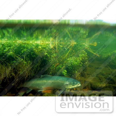 #15541 Picture of Atlantic Salmon (Salmo salar) by JVPD