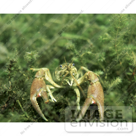 #15542 Picture of a Crayfish, Crawfish, Crawdad (Astacidae) by JVPD