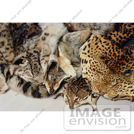 #15550 Picture of Illegal Wildlife Trade Skins by JVPD