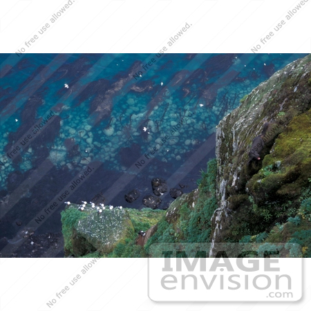 #15559 Picture of an Actic Fox Hunting Cliff Nesting Birds, St George Island, Alaska by JVPD