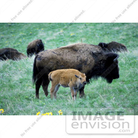 #15587 Picture of an Adult and Calf Buffalo by JVPD