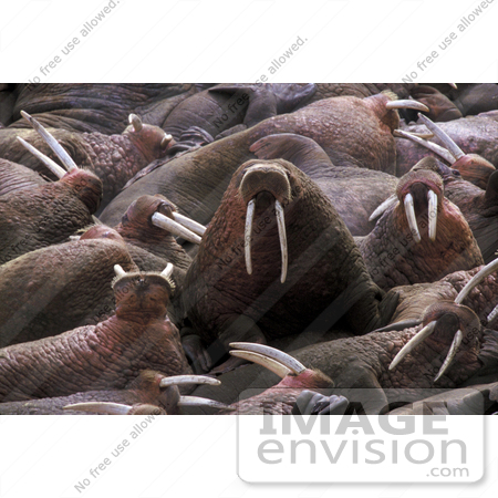 #15608 Picture of a Walrus Herd (Odobenus rosmarus) Crowding a Beach by JVPD