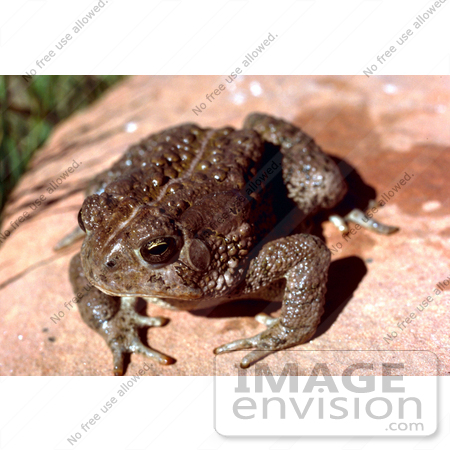 #15637 Picture of a Woodhouses Toad (Bufo woodhousii) by JVPD