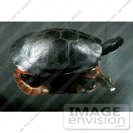 #15751 Picture of a Plymouth Red-bellied Turtle (Pseudemys rubriventris bangsi) by JVPD
