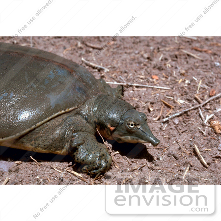 #15752 Picture of a Texas Spiny Softshell Turtle (Apalone spinifera emoryi) by JVPD