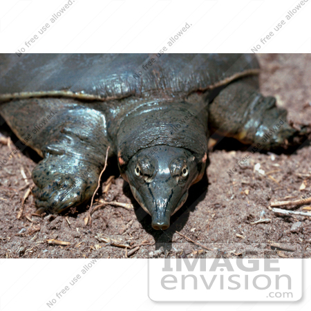 #15754 Picture of a Texas Spiny Softshell Turtle by JVPD