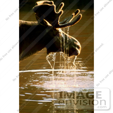 #15948 Picture of a Moose With Water Dripping Off Its Face by JVPD