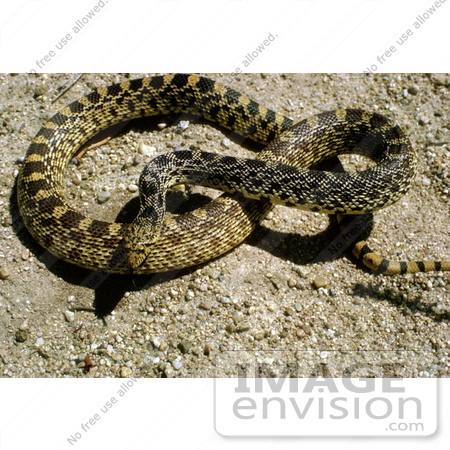 #15972 Picture of a Bull Snake (Pituophis catenifer sayi) by JVPD