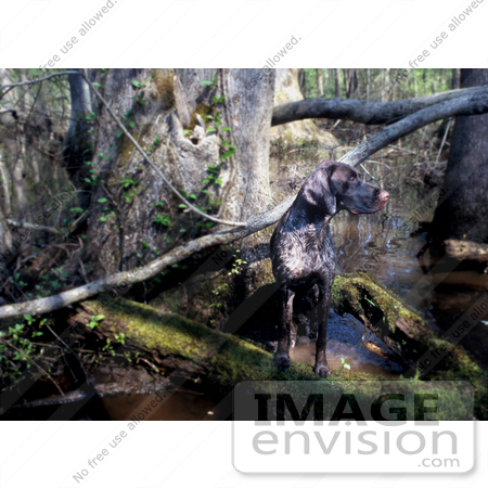 #16012 Picture of a German Shorthaired Pointer Hunting Dog in a Swamp by JVPD