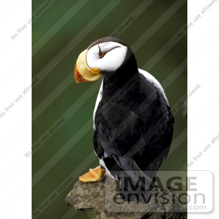 #16085 Picture of a Horned Puffin (Fratercula corniculata) by JVPD