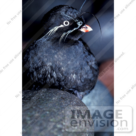 #16104 Picture of a Whiskered Auklet (Aethia pygmaea) by JVPD