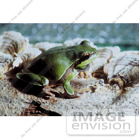 #17169 Picture of a Pine Barrens Tree Frog by JVPD