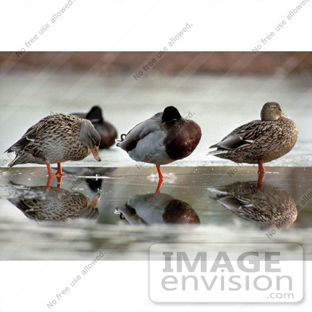 #17187 Picture of Two Female and One Male Mallard Ducks Wading in a Row in a Wetla by JVPD
