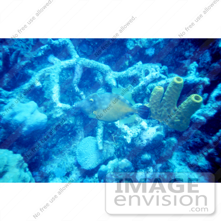 #17283 Picture Of A Long-nosed Filefish (Oxymonocanthus longirostris) by JVPD