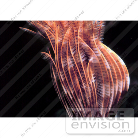 #17285 Picture of a Sabellid Worm in the Caribbean Sea by JVPD