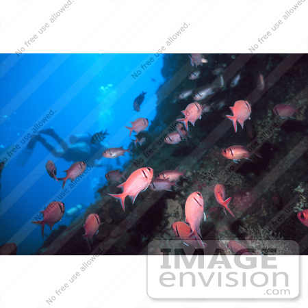 #17291 Picture Of A Diver Near A Reef With A Group Of Pink Squirrelfish (Holocentridae) by JVPD