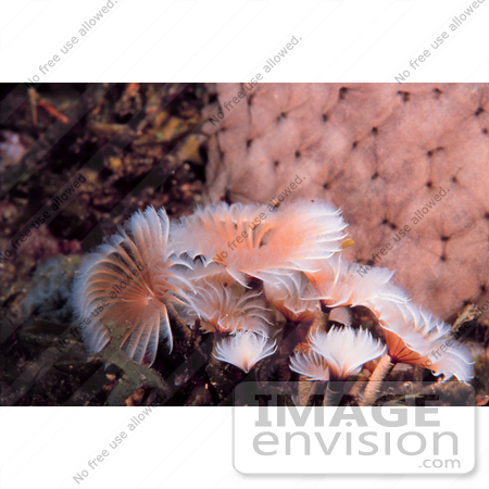 #17294 Picture Of A Small Group Of Pink And White Feather Duster Worms (Sabellidae) by JVPD