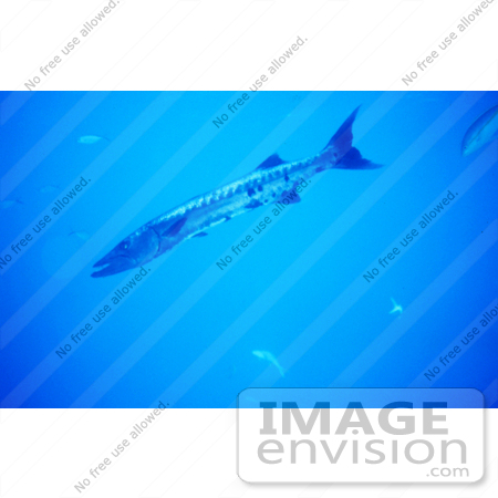 #17296 Picture Of A Great Barracuda (Sphyraena barracuda) Fish by JVPD