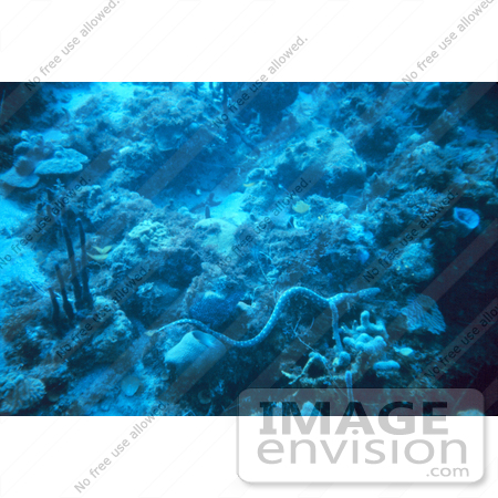 #17301 Picture Of A Snake Eel On A Coral Reef In The Caribbean Sea by JVPD