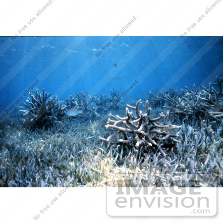 #17321 Picture of Staghorn Corals (Acropora Cervicornis) in Seagrass Under Sun Rays by JVPD