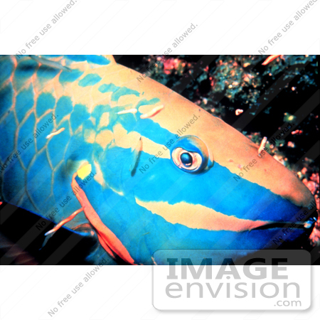 #17324 Picture of a Spotlight Parrotfish by JVPD