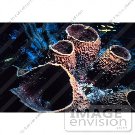 #17334 Picture of Barrel Sponges at the Florida Keys National Marine Sanctuary by JVPD