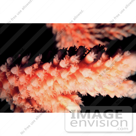 #17335 Picture of Polyps on a Staghorn Coral (Acropora Cervicornis) by JVPD