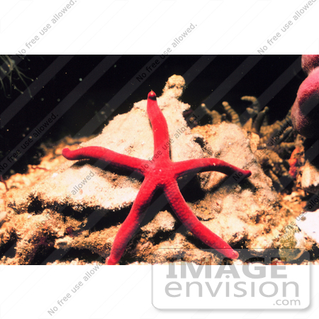 #17567 Picture of a Red Starfish on a Rock by JVPD