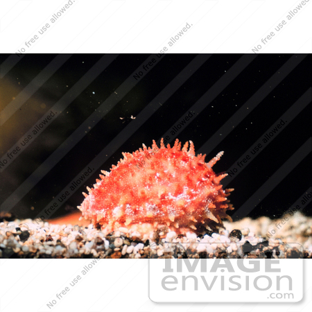 #17585 Picture of an Orange Spiky Cowrie (Cypraea chinensis) by JVPD