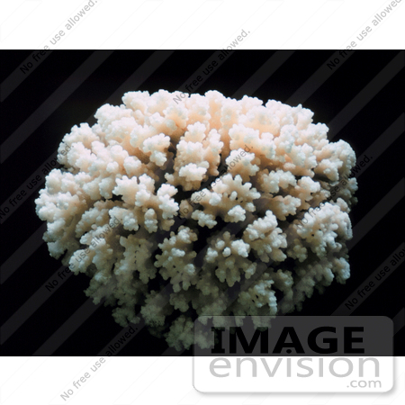 #17595 Picture of a Coral Colony Skeleton by JVPD