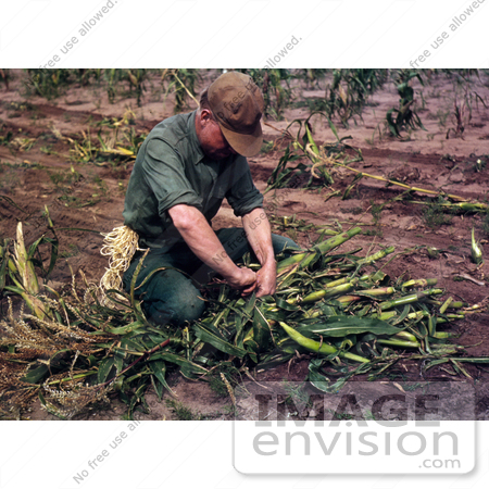 #17864 Photo of a Male Farmer Tying Harvested Corn Into Bundles by JVPD