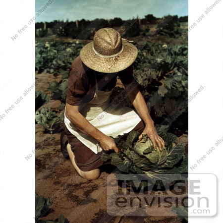 #17881 Photo of a Female Farmer Cutting a Head of Cabbage in a Crop by JVPD