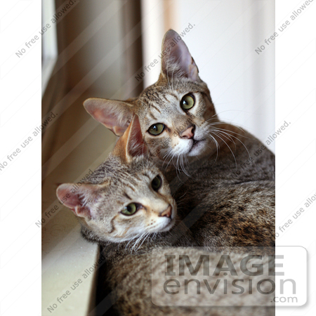 #1794 Picture of Two Savannah Kittens by a Window by Jamie Voetsch