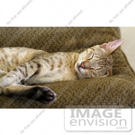 #1795 Picture of a Savannah Cat Sleeping on a Couch by Jamie Voetsch