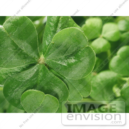 #190 Photograph of Clovers on a Shamrock Plant by Jamie Voetsch