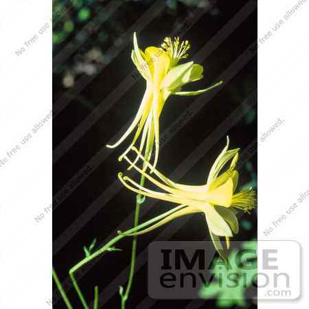 #19812 Photo of Two Yellow Columbine Flowers (Aquilegia flavescens) by JVPD