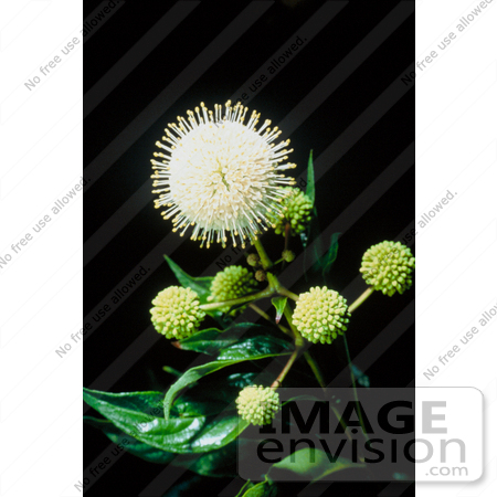 #19813 Photo of Buttonbush Plant (Cephalanthus occidentalis), Oklahoma by JVPD