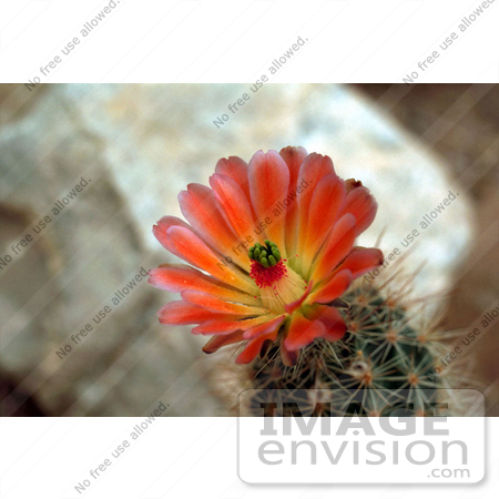 #19824 Photo of Pink and Yellow Cactus Flower by JVPD